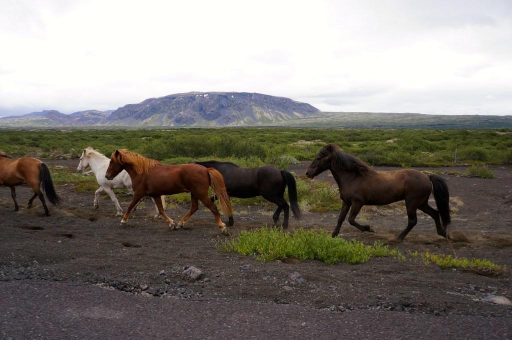 Icelandic horses. Photo: Eeva Routio.