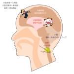 脳の構造を知って幸せ+
