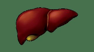 老化と肝臓