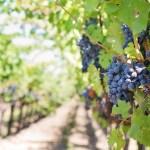 フランスでワイン畑を訪問!パリ市内のワイン畑「ル・クロ・モンマルトル」