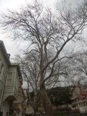 Devasa ağaçlar