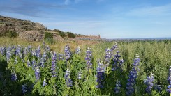 I see fields of these bluebonnet looking flowers all over