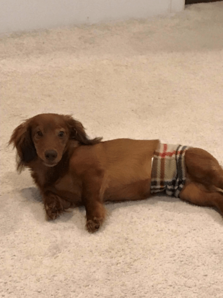 How-To: Belly Bands for Dogs