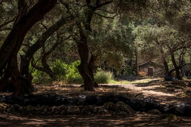 théorèmes de thalèes - histoire des oliviers