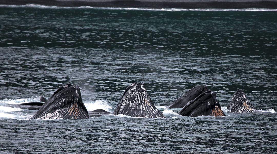Las ballenas jorobadas se están organizando en grandes grupos y los científicos no saben por qué