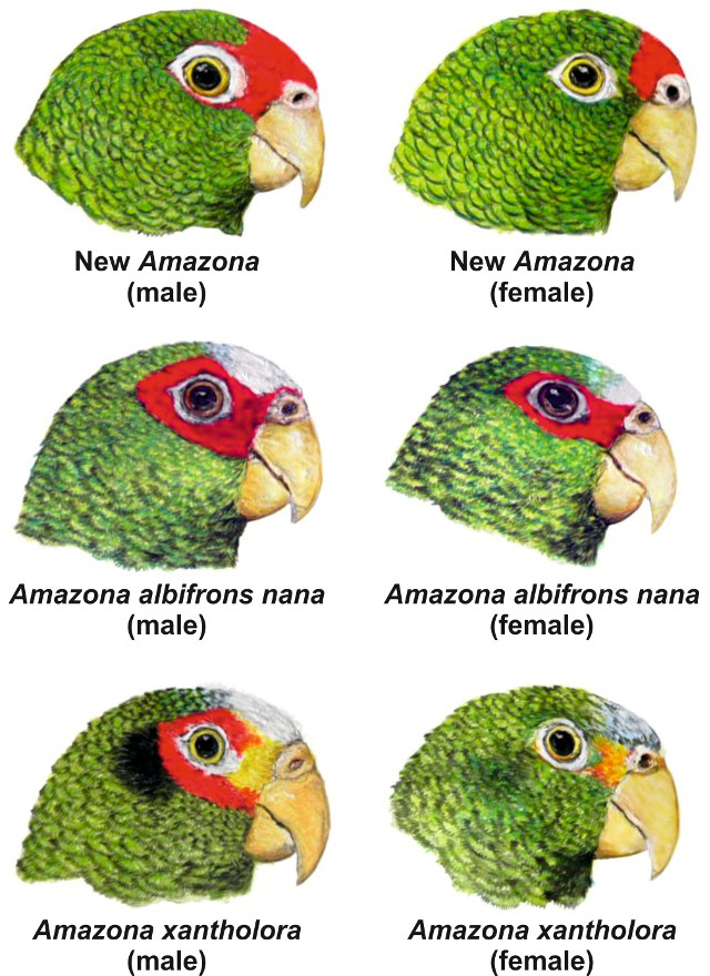Amazona gomezgarza, nueva especie de loro en México