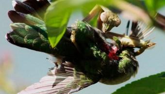 Científicos descubrieron que las mantis son tan letales que comen pájaros