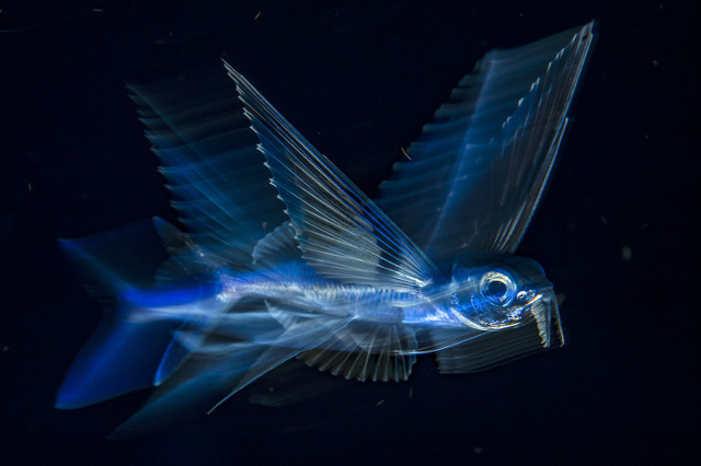 Flying fish in Motion. Third Place, Underwater.