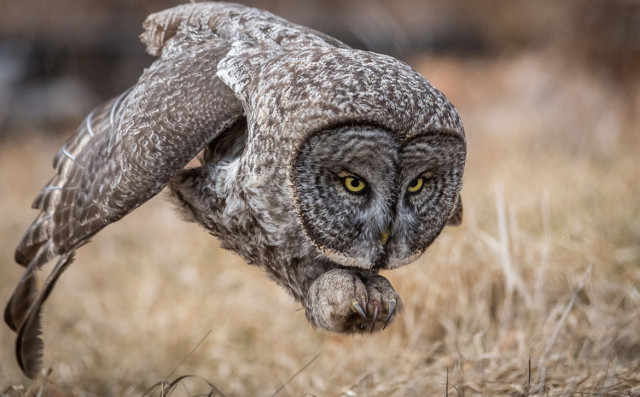 Great Gray Owl. People's Choice, Wildlife