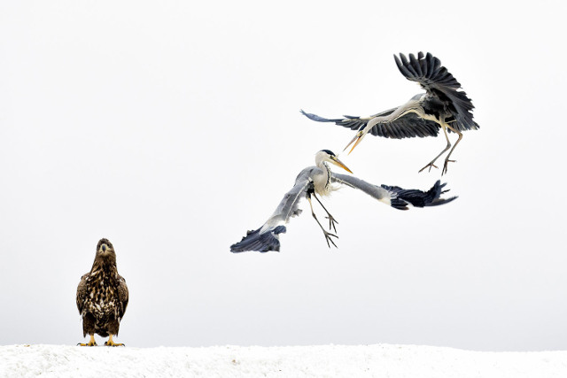White Fighters. Third Place, Wildlife.