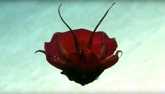 Captan en video a un extraño calamar que perece de otro planeta