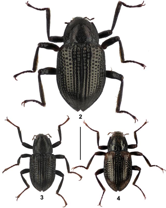 Grouvellinus leonardodicaprioi
