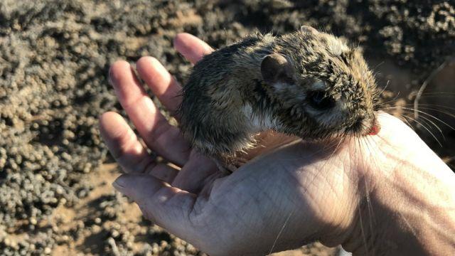 Reaparece la Rata Canguro de San Quintin