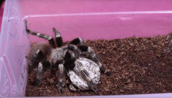 Ver 1,400 arañas bebés naciendo es muy aterrador