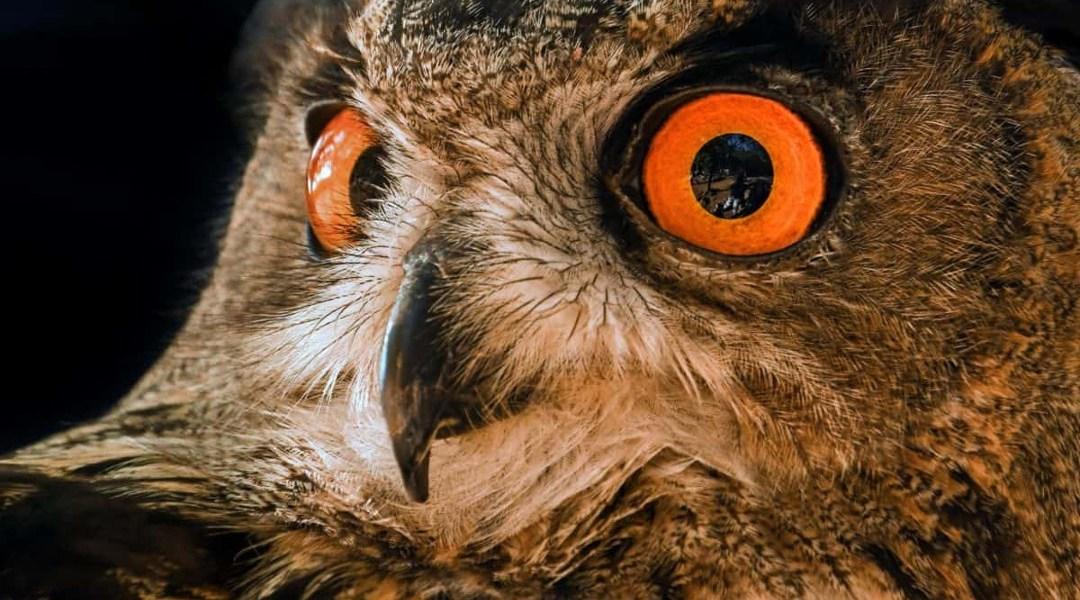Ojos Búho