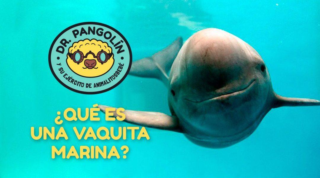 vaquita marina dr pangolin que es