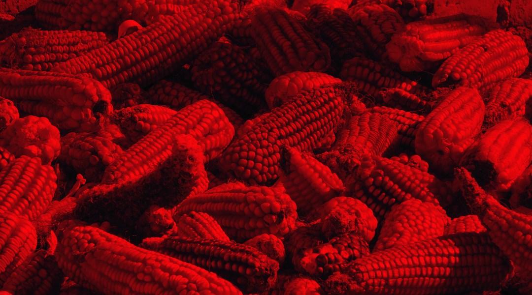 Estados Unidos se adjudica descubrimiento de un tipo de maíz