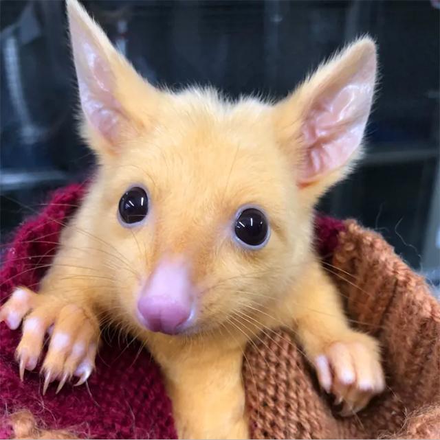 Encontraron en Australia a un 'pikachu de la vida real — Pokémon