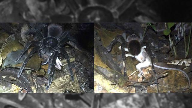 Tarántula-Marsupial-Amazonas-Video