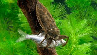 Chinche-Agua-Ranas-Serpientes