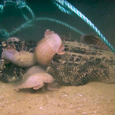 Video-Isópodos-Caimán