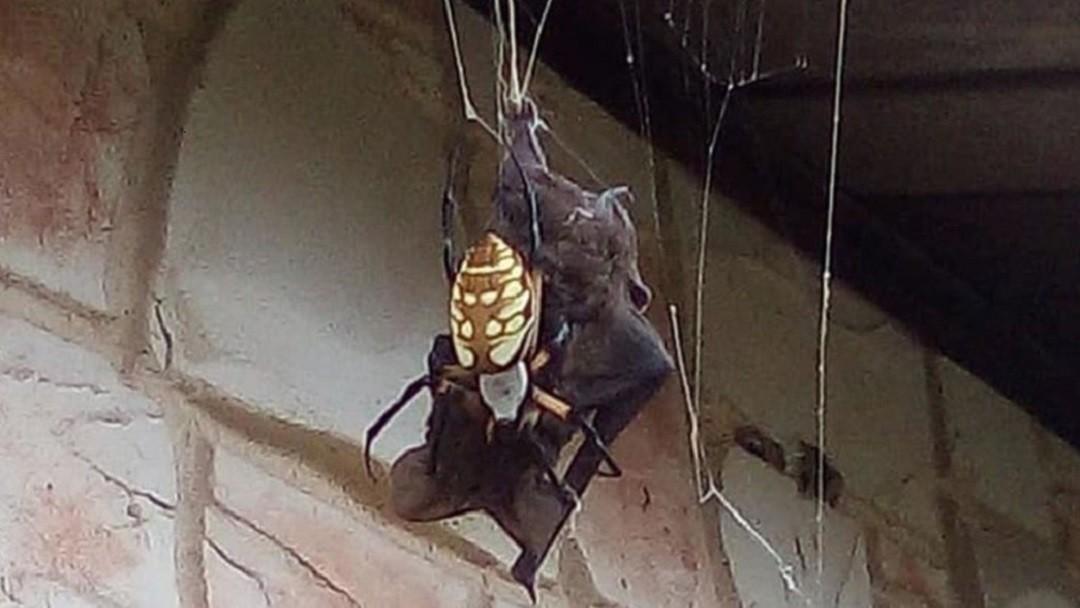 Araña devora a murciélago.