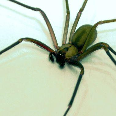 Araña Reclusa Parda