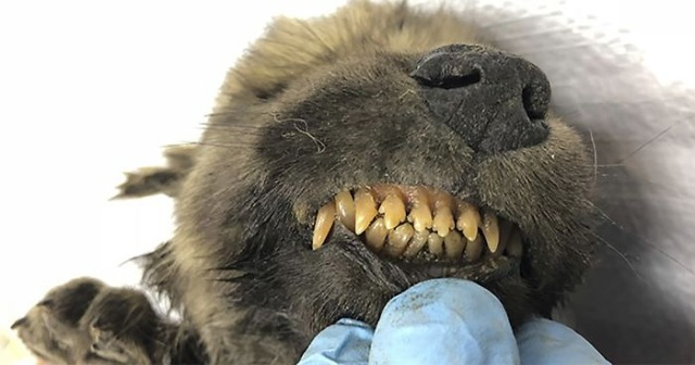 perro siberia 18,000 años