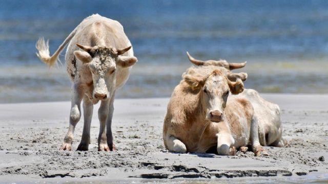 Vacas halladas con vida tras el paso del huracán Dorian
