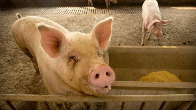 Criminales chinos usan drones para infectar cerdos