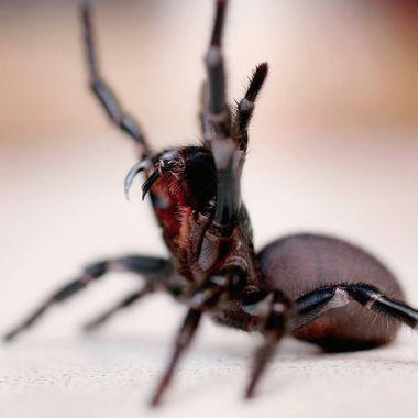 Araña tela de embudo