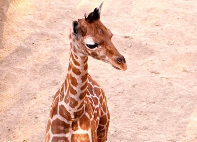 Jirafa Zoológico Chapultepec (3)
