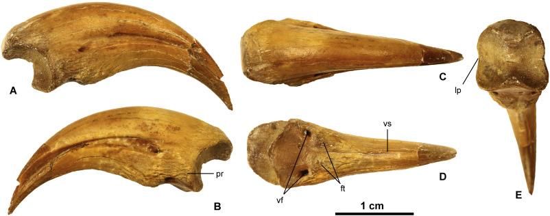 Dinosaurio Con Garras, Trierarchuncus prairiensis