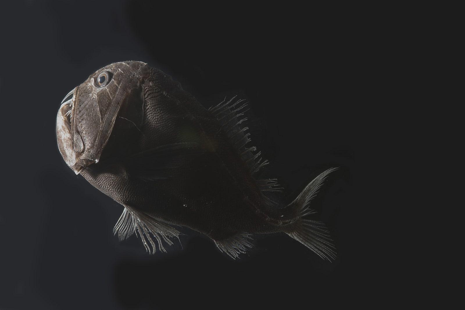 Descubren peces abisales con piel que absorbe 99% de la luz