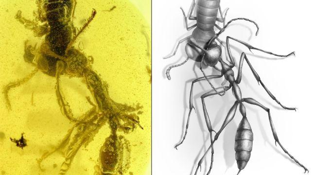 Fósil Hormiga del Infierno 99 Millones Años