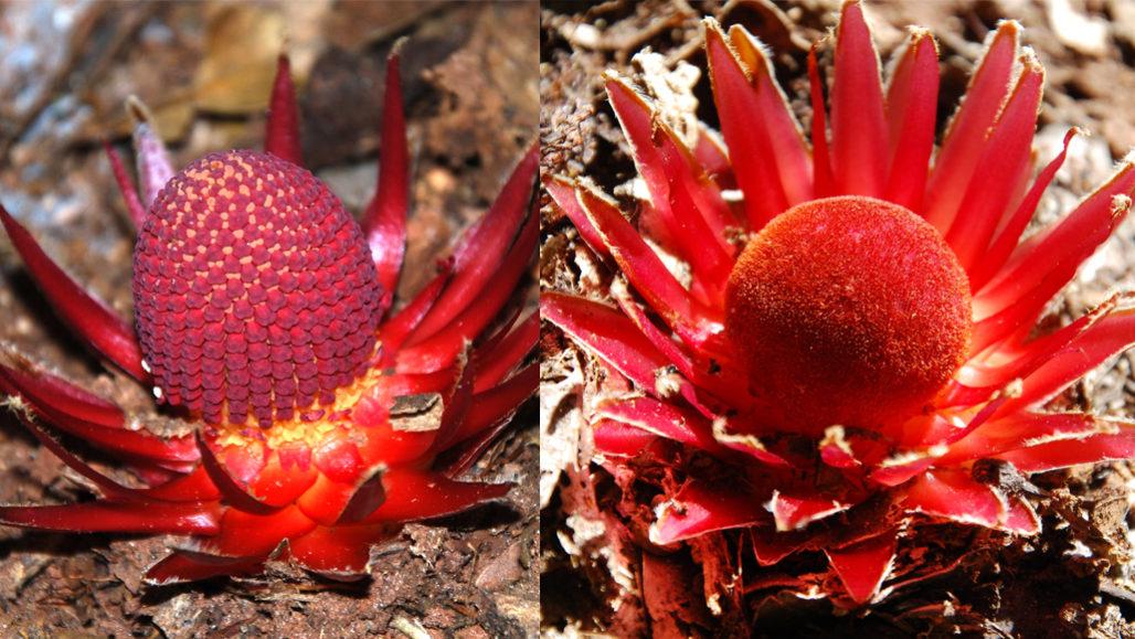 """Las """"plantas vampiro"""" que atraen criaturas con su nectar"""