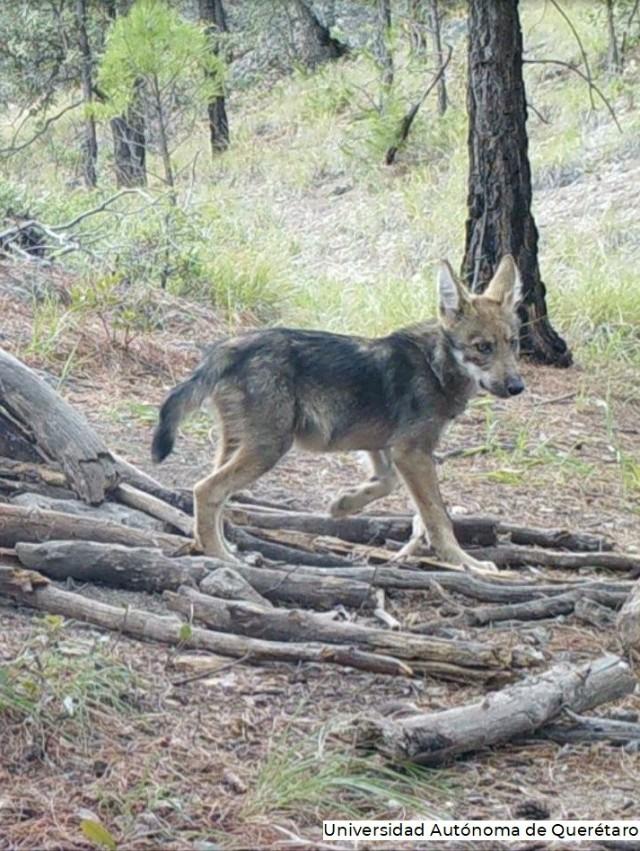 Lobo Mexicano Crías Camadas
