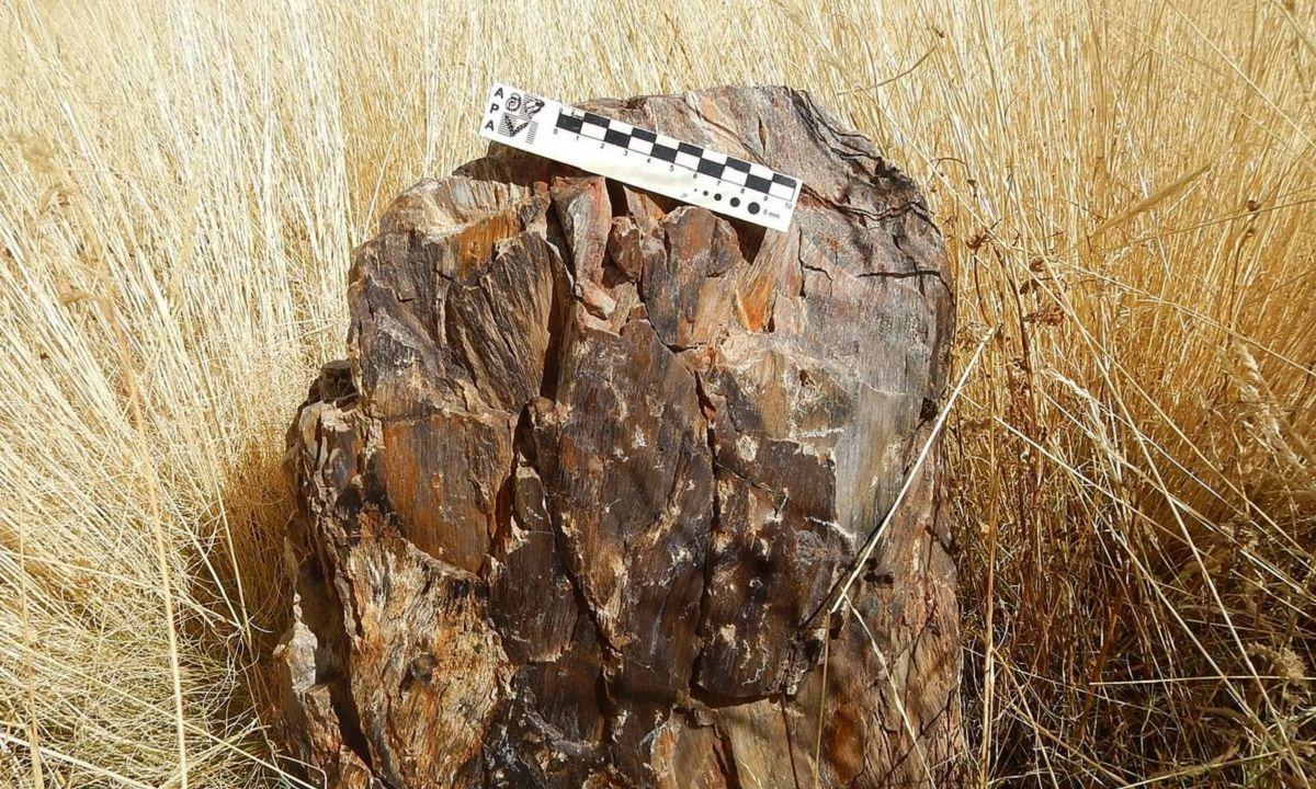 Restos Fósiles Árbol Perú