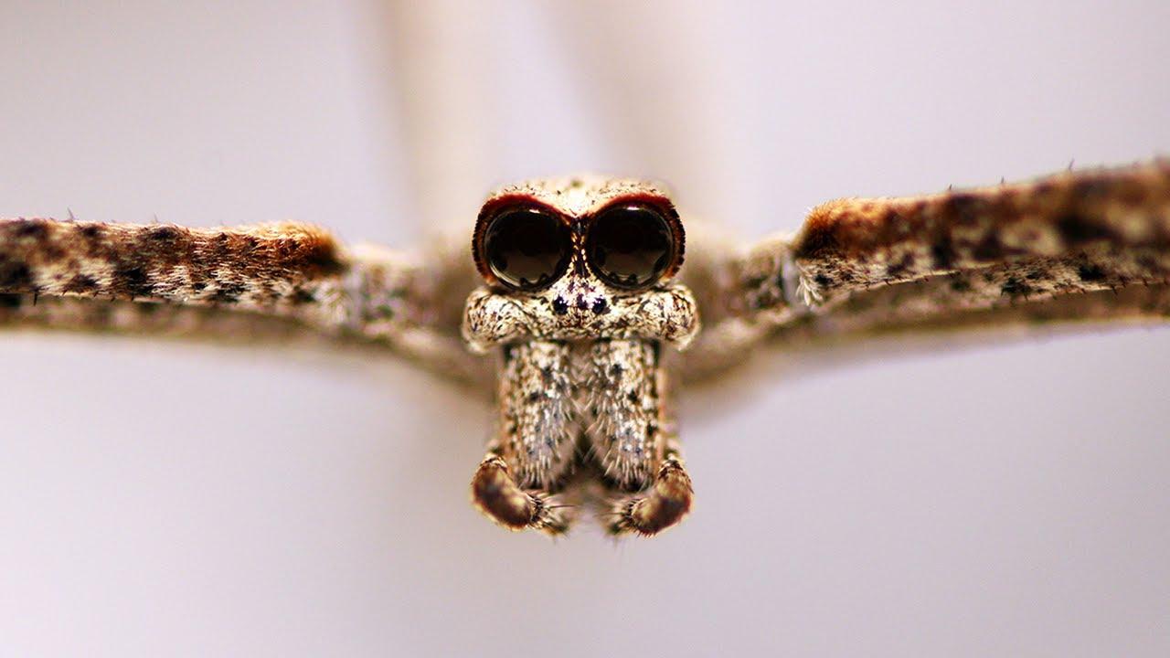 Arañas cara de ogro: no tienen orejas, pero pueden escucharte