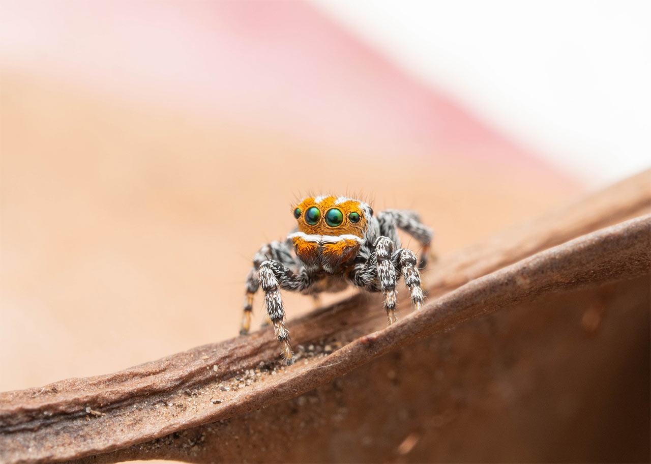 Nemo Araña nueva especie Colores Baile