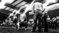 Delta County swine showmanship under the lights