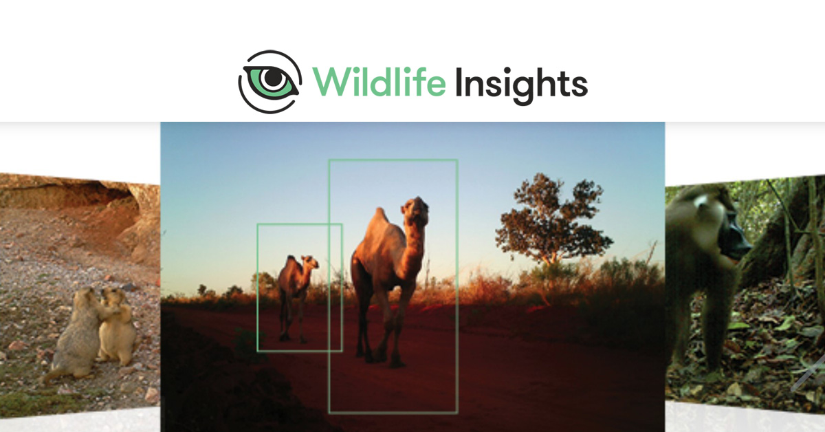 Wildlife Insights – using AI to identify and monitor wildlife populations
