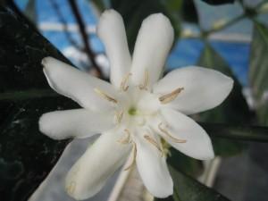 リベリカ花