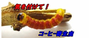 コーヒーゴマフボクトウ 幼虫