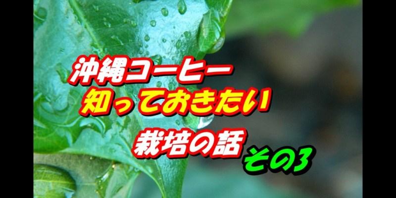 沖縄コーヒー栽培3