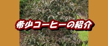 希少コーヒーの木