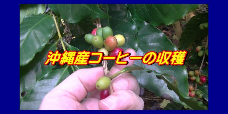 沖縄産コーヒー収穫