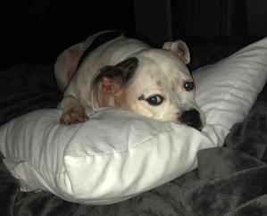White/Black American Bulldog
