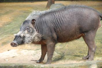 Bearded Boar, Palawan Island, Philippines