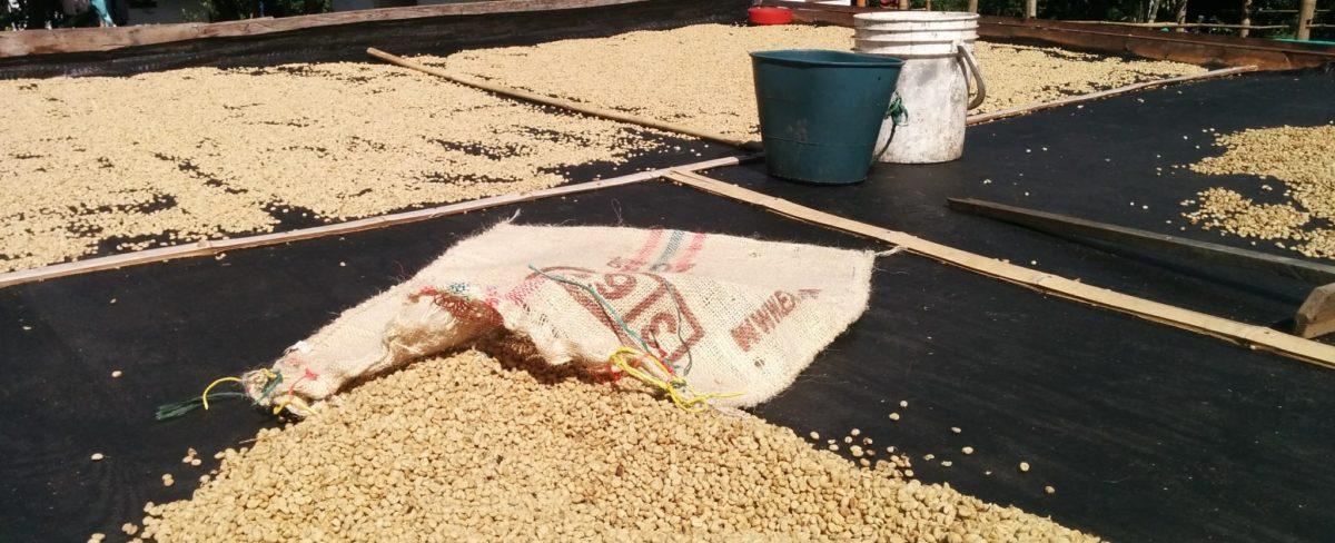 Robusta, Arabica, la description d'un café de qualité
